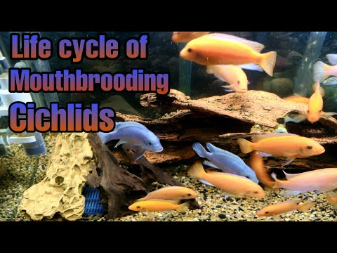 Complete Life Cycle Of Mouth Brooding Mbuna Cichlids.