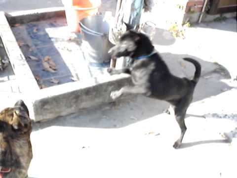 台灣犬~阿正