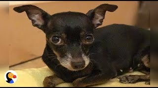 SWEET, Adoptable Chihuahua Found Hanging In a Bag Looking for FOREVER HOME | The Dodo Live*