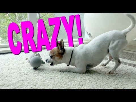 Chihuahua crazy for his toy