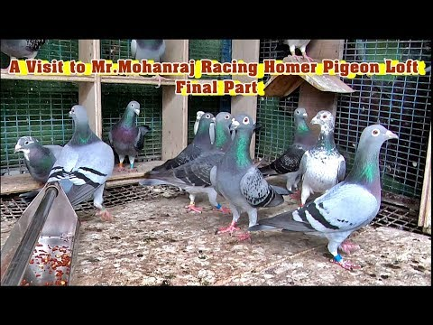 பந்தய புறாக்களின் வரலாறு ,வளர்ப்பு முறை | A Visit to Mr.Mohanraj Homer Pigeon Loft | Final Part