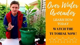 How to Overwinter Avocado Trees in Containers