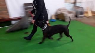 Дрессировка собак. Кане-корсо Бритта
