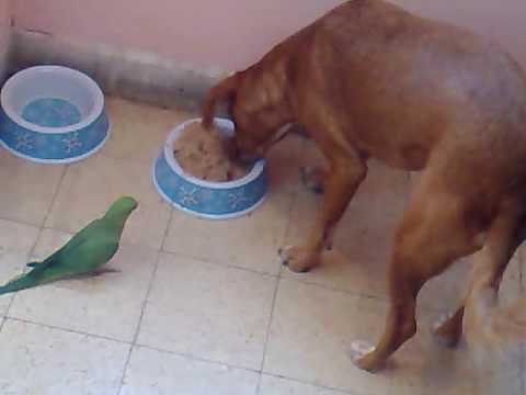 my parrot and dog fighting over the food ????? ??? ???? ????? ?? ?????