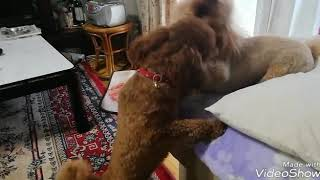 先住犬のRubyは、凄い焼きもちやき  Johnが飼い主に甘ったれるので、Rub...