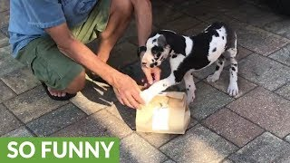 great-dane-puppy-s-first-experience-with-chicken