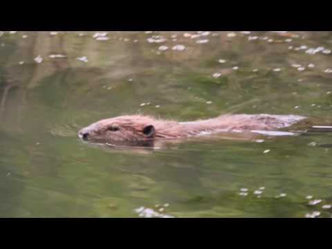 Beaver sighting at Woodlands Castle www.woodlandscastle.co.uk