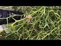 1. How to grow Poncirus Trifoliata
