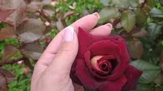 Розы в Подмосковье. EDD E M TCHELL Эдди Митчелл чайно-гибридная