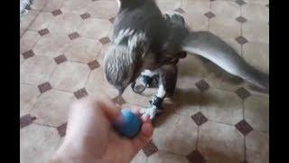 Сокол БАЛОБАН играется с мячиком:) falcon saker f...