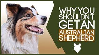 AUSTRALIAN SHEPHERD! 5 Reasons you SHOULD NOT GET A Australian Shepherd Puppy!