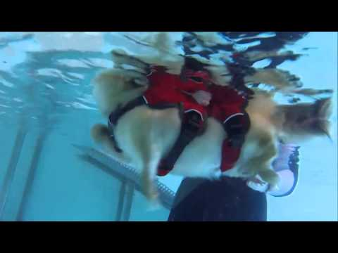 Underwater View Chihuahua Swimming at Bluewaters Canine Hydrotherapy Pool