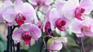 Фаленопсис на фото(Фаленопсис http://www.orchid-m.com/orhideya-phalaenopsis.html Орхидея http://www.orchid-m.com/ Orchid http://types-orchids.com/ Род Фаленопсис ..., 2016-01-17T18:46:51.000Z)