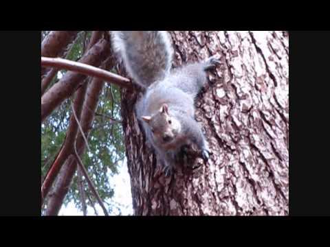 Pissed Off Grey Squirrel (Long Version)