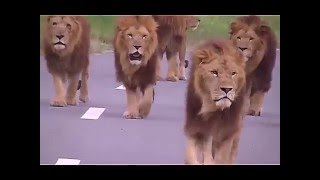 Lion vs Hyenas - Terrible  Fight in the Middle of the Road - Lion and Hyenas