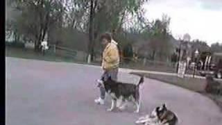 Siberian Husky Off-lead Obedience