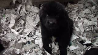 ニューファンドランド 生後44日 子犬です。ニューファン.