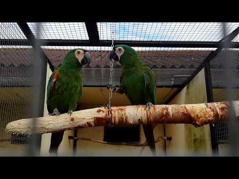 Каштановолобый ара Chestnut-fronted macaw Ara severus