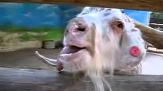 Opita koza