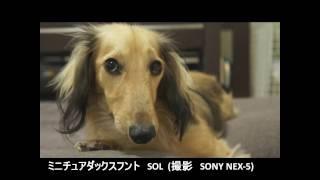 我が家の愛犬ミニチュアダックスフンドのSOLは遺伝性の疾患である進行性...