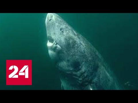 В Атлантике поймали 512-летнюю акулу - Россия 24