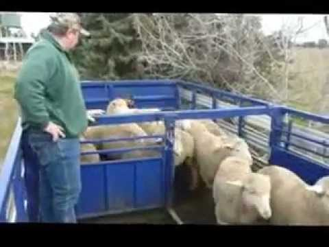 Sandstock Working Kelpies, Trick and Gordy Unloading the Truck, Full Version