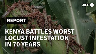 Kenya battles devastating locust infestation   AFP