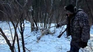 Охота на волка капканом (Wolf hunting trap)