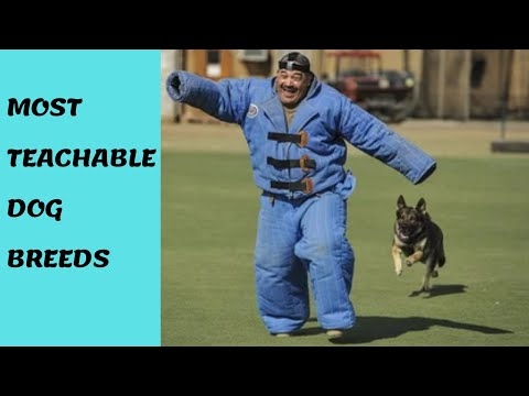 10-most-trainable-dog-breeds-(the-easiest-dog-breeds-to-teach-and-train)