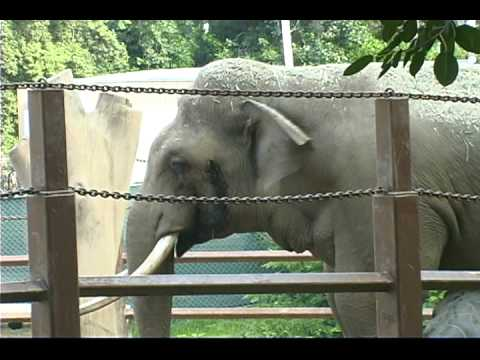 Sad Story of Billy the Elephant confined in the Los Angeles Zoo