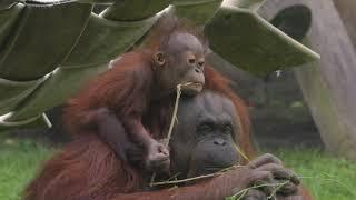 Wakil the Baby Orangutan | The Toledo Zoo & Aquarium