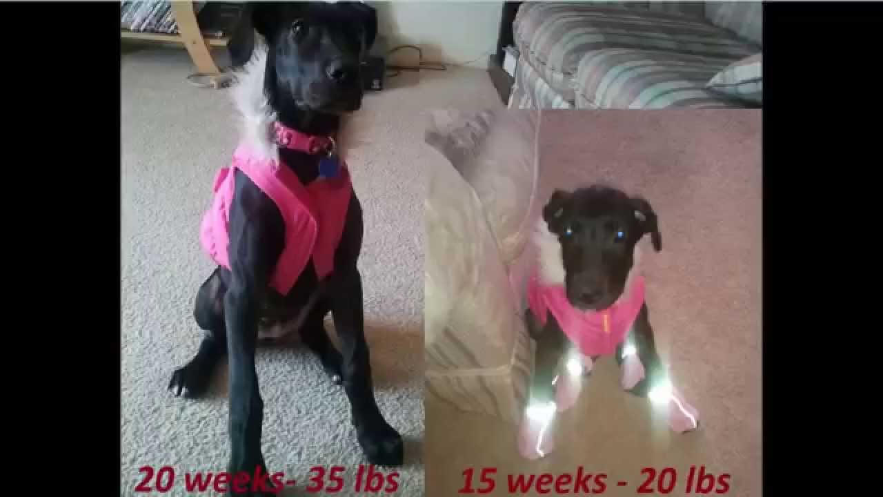 Great dane growth youtube geenschuldenfo Image collections