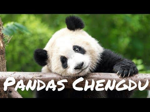 Cheng du, Čína - Proč pandy jí tak moc bambusu děnně? | VLOG #11