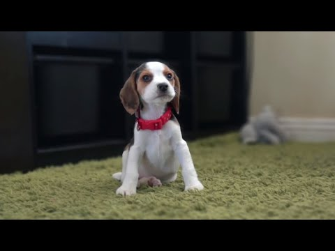 Cute Beagle Puppy From 8 weeks to 3 Months with New Family | Charlie the Dog