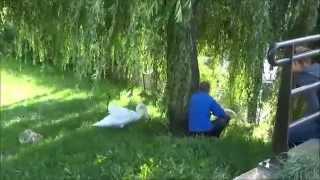 ringen jongen Knobbelzwanen -mute swan-Cygnus olor-Almere augustus 13, 2014