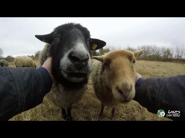 Schafe streicheln - nicht essen!