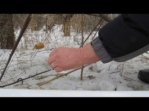 Как в поймать фазана