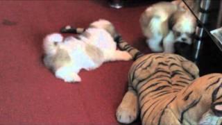 Shorkie (shihtzu X Yorkshire Terrier) Puppies For Sale :)