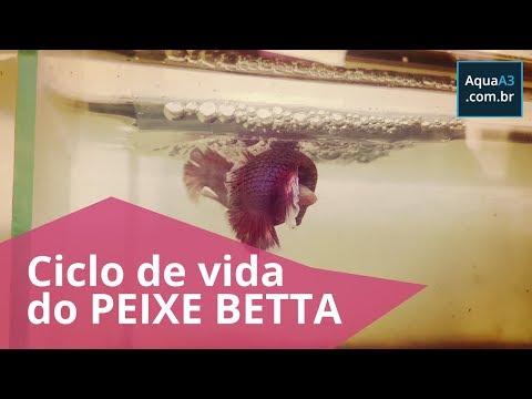 O ciclo de vida completo do peixe Betta (Betta splendens)