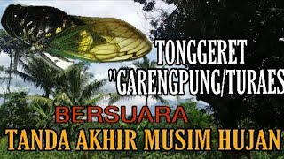 Download Mp3 Suara Tonggeret Garengpung/turaes Di Alam - The Sound Of Insects Signing The End