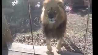 Приколы с животными за стеклом (((1 зоопарк.