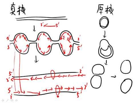 11 3原核生物與真核生物DNA複製的比較三慧good