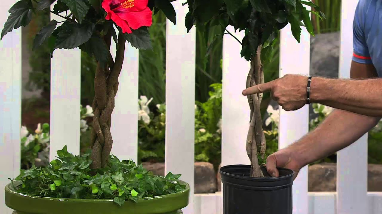 Cottage Farms 3 In 1 Braided Tropical Hibiscus Tree With Dan Wheeler