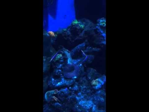 Blue Striped Pipefish Spawning
