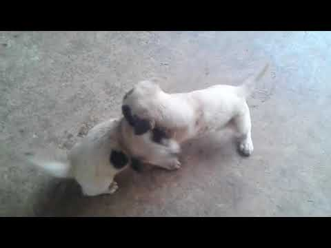 dog-fight-2018-|-puppy-fight-|-fierce-fighting-dog