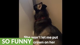 Husky hides behind fridge for good reason
