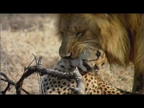 Lions Documentary - Lion Destroys Cheetah  ☼ Extreme Rare Footage - National Geograp