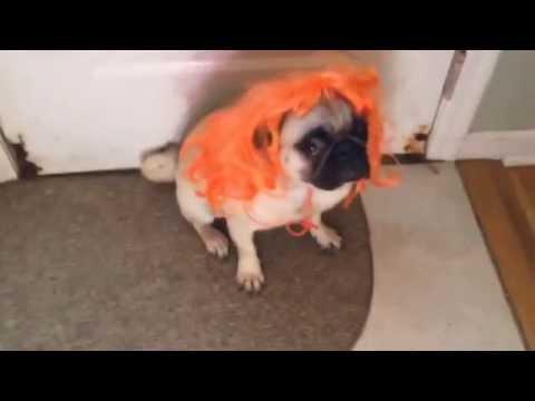 Mushu the Pug Wears a Wig!