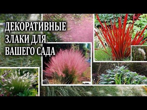 Декоративные злаки в саду и на даче. Наиболее популярные декоративные травы