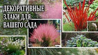 Декоративные злаки  в саду и на даче . Наиболее популярные декоративные  травы